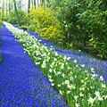 Pictures - Keukenhof -  Garden of Europe