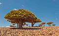 Holiday pictures - Socotra -  Dragon Tree