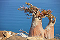 Our tours - Socotra - Dendrosicyos socotranus, the cucumber tree (Cucurbitaceae)